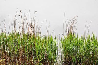 Gräser am Teichufer - p1501m2064182 von Alexander Sommer