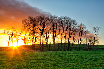 Spain, Province of Zamora, sunrise over a field of grain with nests and white storks on trees - p300m1206365 by David Santiago Garcia