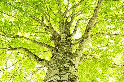 Beech tree, Kijimadaira, Nagano Prefecture, Japan - p5145746f by Kazumasa Koiwai