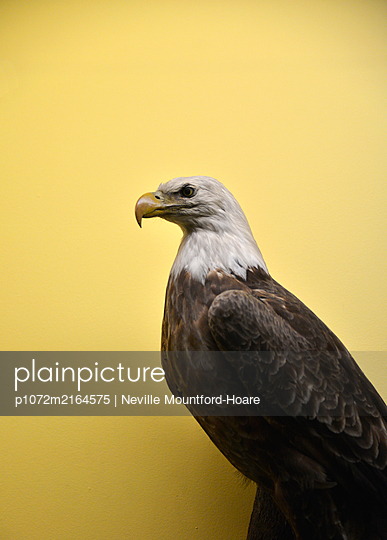 Stuffed Bald Eagle - p1072m2164575 by Neville Mountford-Hoare