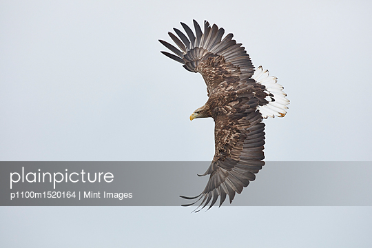 White-Tailed Eagle, Haliaeetus albicilla, mid-air, winter. - p1100m1520164 by Mint Images