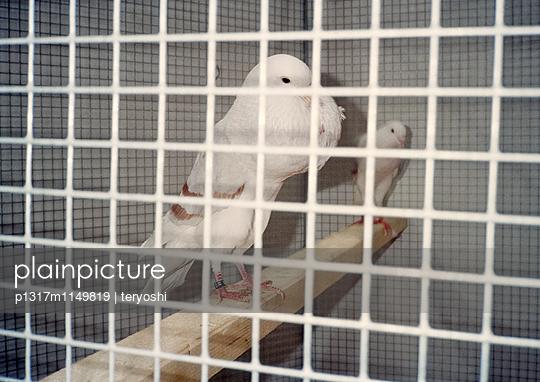 Zuchttauben - p1317m1149819 von teryoshi