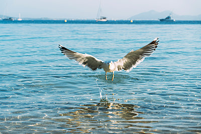 Flying seagull landing near seafront, Pollenca, Mallorca, Spain - p300m2143689 by Gemma Ferrando