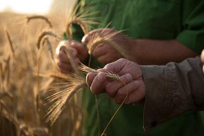 Caucasian men examining wheat - p555m1522998 by John Fedele