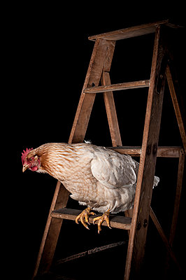 Hen on a ladder - p1186m1020561 by Christine Henke