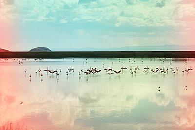 Flamingos auf dem Lago Uru Uru - p1038m1575343 von BlueHouseProject