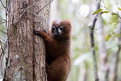 Lemur im Wald - p1272m1515606 von Steffen Scheyhing