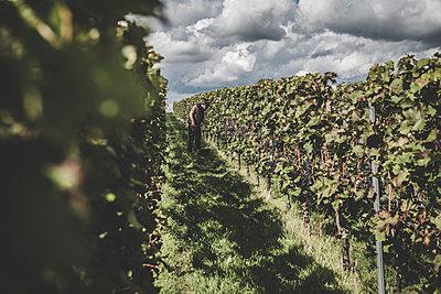 Weinreben - p759m2210214 von Stefan Zahm