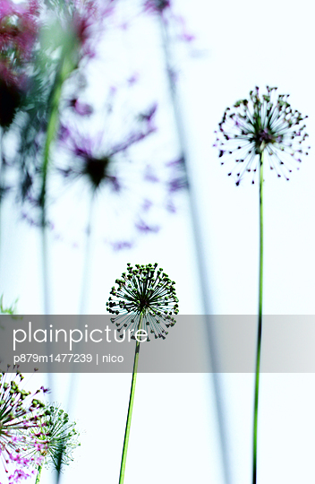 Ornamental onions close-up - p879m1477239 by nico
