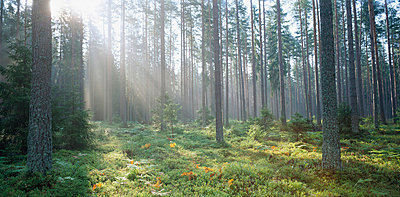 Haze in the forest - p5754324f by Stefan Rosengren