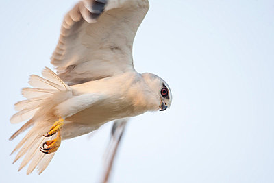 Black-shouldered kite in flight - p575m744049f by Lars-Olof Johansson