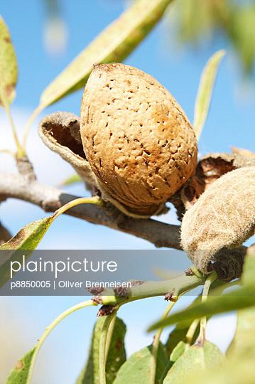 Ripe almonds - p8850005 by Oliver Brenneisen