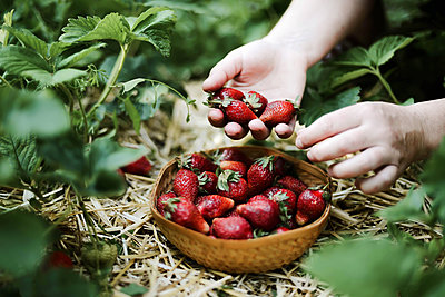 Closeup of a woman‰Ûªs hands holding fresh strawberries. - p1166m2094532 by Cavan Images