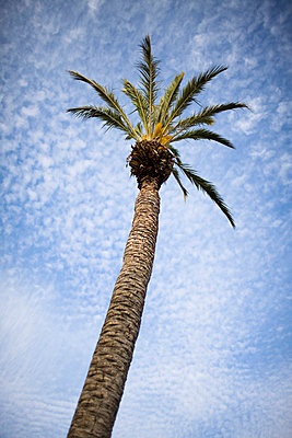 A palm tree Andalusia Spain. - p31220530f by Hans Bjurling