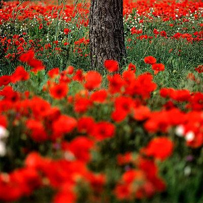 Poppies - p813m778806 by B.Jaubert