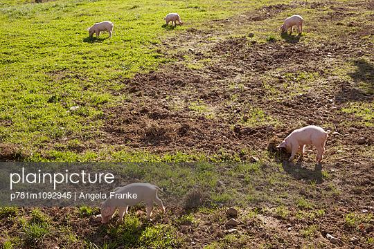 Schweineglück - p781m1092945 von Angela Franke