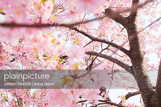 Cherry blossom in Tokyo - p956m1044305 by Anna Quinn