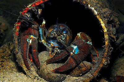 Austria, Upper Austria, river Traun, European crayfish in a pipe - p300m1460063 by Gerald Nowak