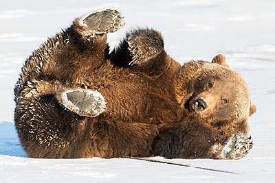CAPTIVE: Female Grizzly bear playing on a frozen pond in winter, Alaska Wildlife Conservation Center, Southcentral Alaska, USA - p442m1180893 by Doug Lindstrand