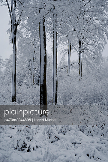 Snowy forest  - p470m2244398 by Ingrid Michel