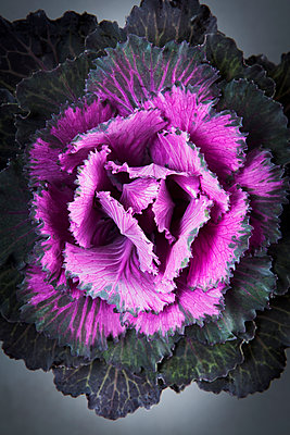 Ornamental cabbage - p1149m1169187 by Yvonne Röder