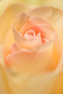 Rose - p3300314 von Harald Braun