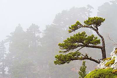 Pine trees - p1403m1490687 by VW Pics