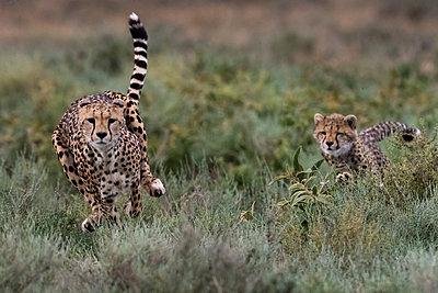 A female cheetah (Acinonyx jubatus) and its cub running, Ndutu, Ngorongoro Conservation Area, Serengeti, Tanzania - p429m2019118 by Delta Images