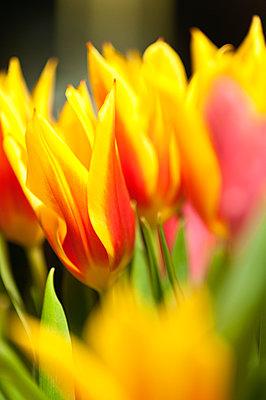 Tulips - p1418m1571834 by Jan Håkan Dahlström