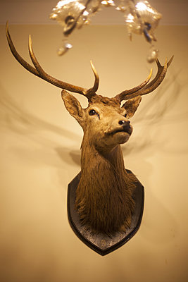 Deer head trophy on the wall - p596m1222173 by Ariane Galateau
