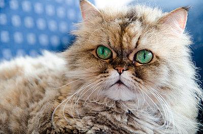 Langhaar Katze mit grünen Augen, Golden shaded Grey - p299m1528898 von Silke Heyer
