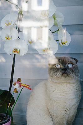 Eine Katze und eine Orchidee am Fenster - p1600m2215242 von Ole Spata
