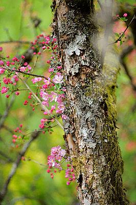 Blüten an einem Baumstamm - p949m658161 von Frauke Schumann