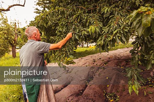 Senior man at tree during cherry harvest in orchard - p300m2132411 by Sebastian Dorn