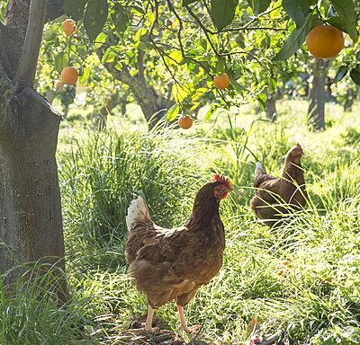 Hühner - p1485m1573300 von susanne polzin