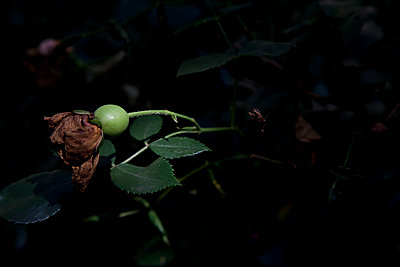 Withered rose - p212m889931 by Edith M. Balk