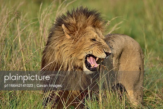 Large male lion - p1166m2141023 by Cavan Images