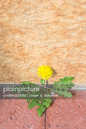 A weed plant with a yellow flower against a concrete wall. - p1436m2229252 by Joseph S. Giacalone