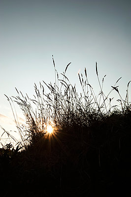 Close-up silhouette of meadow grass at sunset - p1047m2209197 by Sally Mundy