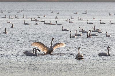 Swan Lake - p1480m2229496 by Brian W. Downs