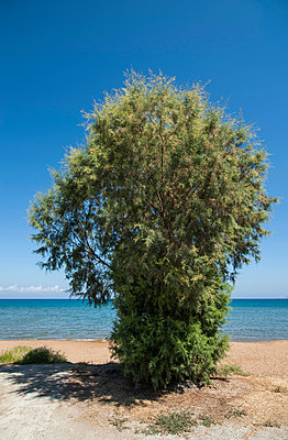 Single tree next to beach - p1047m953671 by Sally Mundy