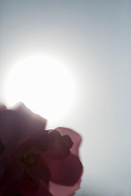 Rose - p495m907000 by Jeanene Scott
