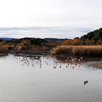 Flamingos - p1105m2145173 by Virginie Plauchut