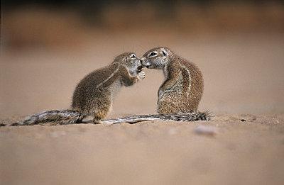 Kgalagadi National Park - p3300389 von Harald Braun