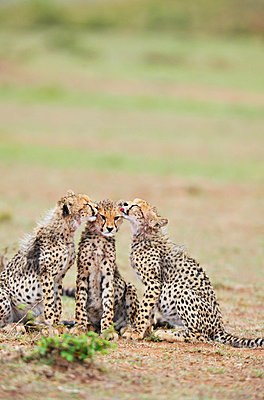 Young cheetahs - p533m1003283 by Böhm Monika