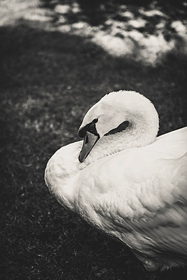 Swan - p1150m1083566 by Elise Ortiou Campion
