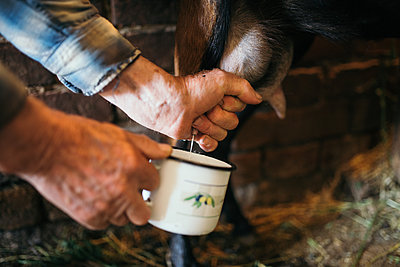 Old farmer milking one of his goat closeup - p1166m2190621 by Cavan Images