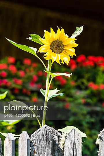 Sonnenblume - p488m1200562 von Bias