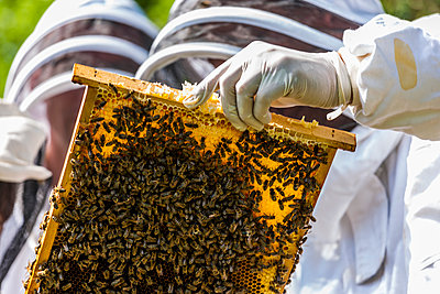 Two beekeepers holding stillage with honeycomb - p300m1052869f by Tom Chance