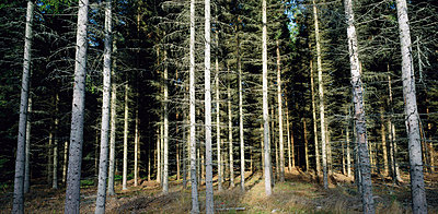 Forest of only spruce - p5754319f by Stefan Rosengren